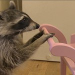 Melanie - the world's most talented raccoon