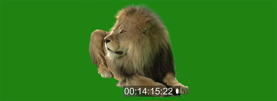 Lion in greenscreen studio