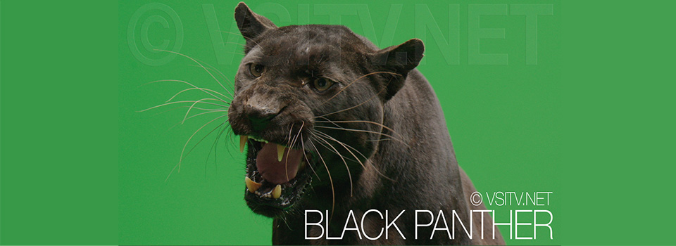 Black panther in green screen studio